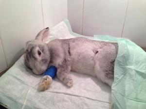 Conejo recuperándose tras cirugía